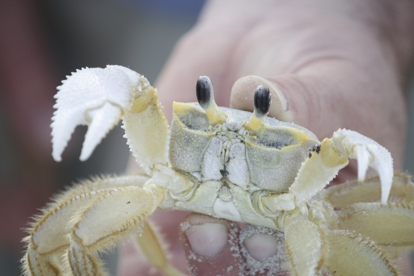 cumberland island ghost crab